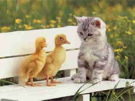Two Ducklings, One Kitten
